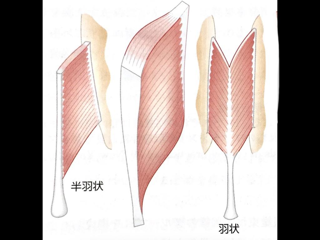 状 筋 紡錘